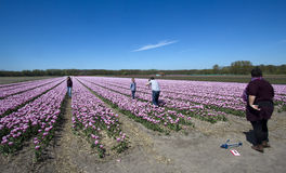 Flower fields in Holland Royalty Free Stock Photography