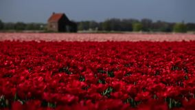 Flower fields. Nature. Dolly shot. Fields of tulips. Valentines day or wedding day or birthday concept stock video