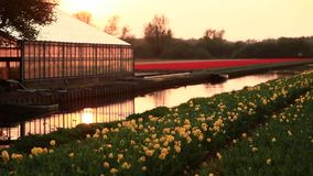 Flower fields. Nature. Dolly shot. Fields of tulips. Valentines day or wedding day or birthday concept stock video footage