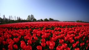 Flower fields. Nature. Dolly shot. Fields of tulips. Valentines day or wedding day or birthday concept stock footage
