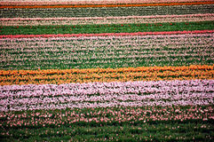 Flower fields . Netherlands. Royalty Free Stock Photography