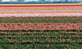 Flower fields . Netherlands. Stock Photo