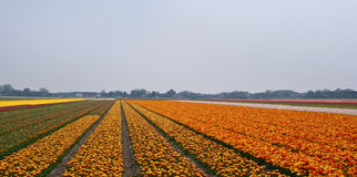 Flower fields . Netherlands. Royalty Free Stock Photos