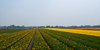 Flower fields . Netherlands. Stock Photos