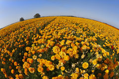 The flower fields. Orange buttercups Stock Photos