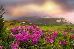 Rhododendrons on Chernogor about Goverly Royalty Free Stock Photos