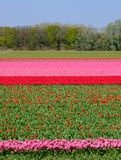Flower fields with rows of colourful tulips near Keukenhof Gardens, Lisse, South Holland. Photographed in HDR high dynamic range. Colourful flower fields with stock image