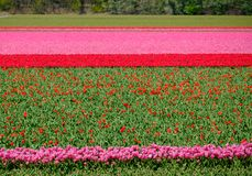 Flower fields with rows of colourful tulips near Keukenhof Gardens, Lisse, South Holland. Photographed in HDR high dynamic range. Colourful flower fields with stock photography