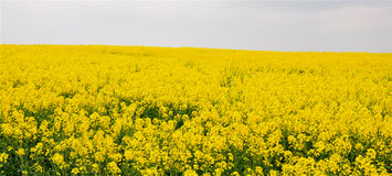 Flower Fields of yellow. View of yellow blooming field in summer Stock Photography