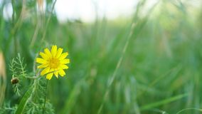 Flower in the filed. Yellow flower in green filed royalty free stock photo