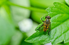 Flower files or Fruit flies in green nature Stock Photo