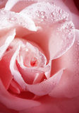 Flower fine rose with morning dew Stock Photos