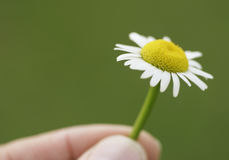 Flower in fingers1. Fingers hold a daisy, care for the environment Stock Photography