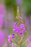 Flower of Fireweed Stock Photography
