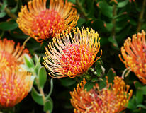Flower Fireworks. (Leucospermum steals), South African plant in bloom Stock Image