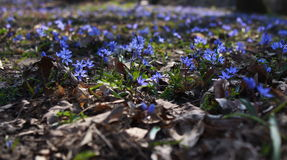 The flower. First flowers in forest after a long winter. Beautiful blue flowers are the courier of spring stock images