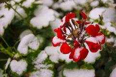 Flower and first snow Royalty Free Stock Photos