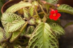 Flower of Flame violet, Carpet Plant, Episcia, Episcia spp. hybrid, stock image