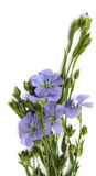 Flower of flax Royalty Free Stock Photos