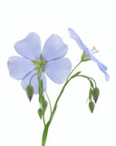 Flower of flax Royalty Free Stock Photo