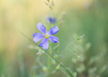 Flower of flax growing Royalty Free Stock Images