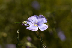Flower of flax Stock Photography