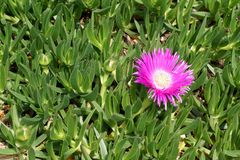 Flower and fleshy leaves of succulent Mediterranean plant Delosperma Cooperi or Ice plan. Meadow with flower and fleshy leaves of succulent Mediterranean plant royalty free stock images