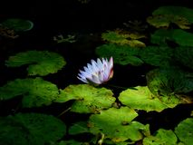 Flower floating on a pond stock photos