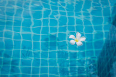 Flower floating in the pool. Frangipani flowers floating in the pool Stock Image