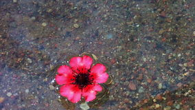 A flower floating on the river. (Clean water in the river).  stock video footage