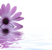Flower floating in water Stock Photography
