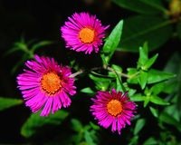 Flower, Flora, Aster, Plant Royalty Free Stock Photos