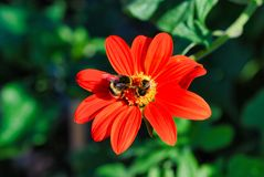 Flower, flora, nectar, petal, bee, pollen, macro photography. Flower is flora, bee and honey bee. That marvel has nectar, pollen and membrane winged insect and Royalty Free Stock Photo