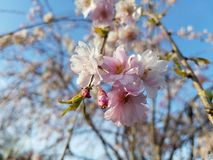 Flower flora bud sky plant. Sunny day walking in cherry blossom park Stock Photos
