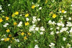 Flower, Flora, Chamaemelum Nobile, Plant stock photography