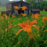 Flower, Flora, Daylily, Plant Stock Photo
