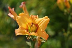 Flower, Flora, Daylily, Wildflower Royalty Free Stock Photography