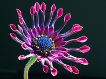 Flower, Flora, Flowering Plant, Close Up Royalty Free Stock Photos