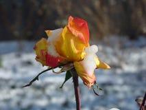 Flower, Flora, Flowering Plant, Rose Family royalty free stock image