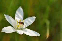 Flower, Flora, Honey Bee, Nectar royalty free stock photography
