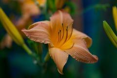 Flower, Flora, Lily, Daylily Royalty Free Stock Image