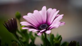 Flower, Flora, Pink, Purple Royalty Free Stock Photo