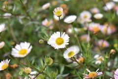 Flower, Flora, Plant, Chamaemelum Nobile