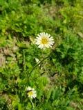 Flower, Flora, Plant, Chamaemelum Nobile stock images