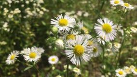 Flower, Flora, Plant, Chamaemelum Nobile royalty free stock images