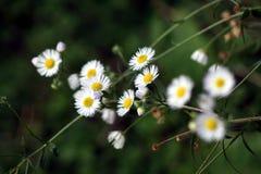 Flower, Flora, Plant, Chamaemelum Nobile stock photos