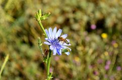 Flower, Flora, Plant, Chicory royalty free stock photo