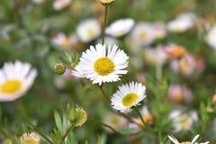Flower, Flora, Plant, Daisy Family