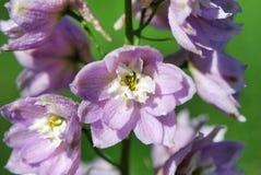 Flower, flora, plant, flowering plant, spring, bellflower family, delphinium. Flower is flora, spring and wildflower. That marvel has plant, bellflower family stock photo