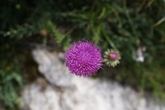 Flower, Flora, Plant, Thistle Stock Photography